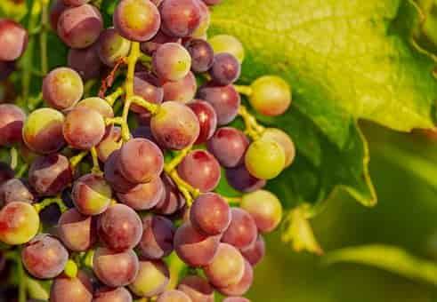 اهمية اكل العنب