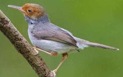 Suara Burung Prenjak