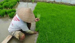 Geography: Wet rice cultivation