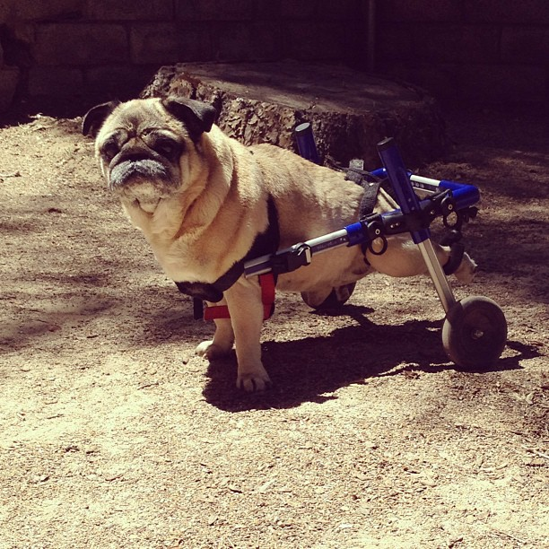 pug in wheels, dog wheelchair, handicapped pets pet carts