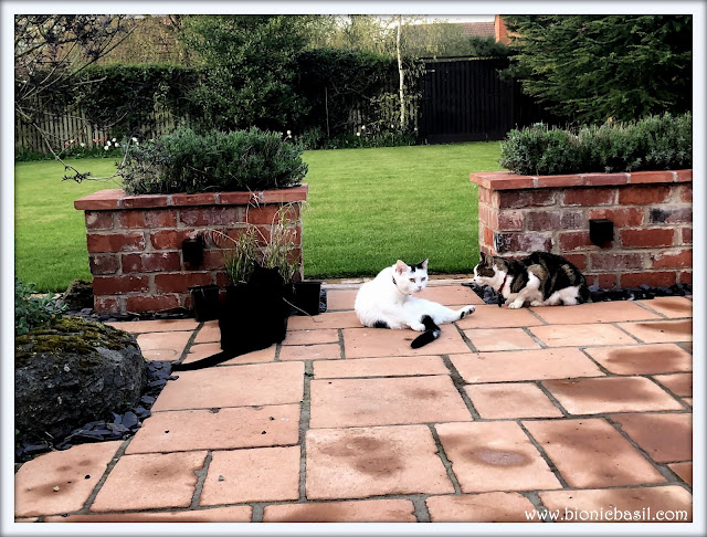 3 cats in the garden basil tabby smooch tripawed and parsley sauce black house panther
