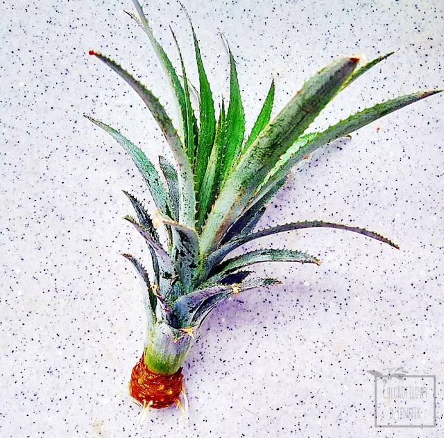 Ananas jadalny (Ananas cosmosus) - ukorzenianie rozety w domu, uprawa i hodowla ananasa ze sklepu, jak łatwo ukorzenić rozetę ananasa domowymi sposobami, rośliny tropikalne w doniczce