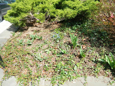 Toronto Summerhill spring front yard garden clean up after by Paul Jung Gardening Services