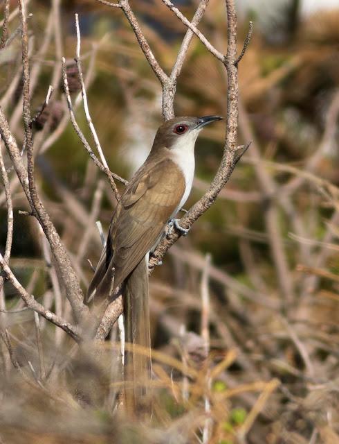 Black-billed Cuckoo - North Uist