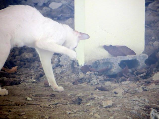 Кошка поймала геккона