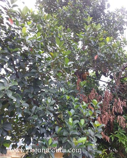 Artocarpus heterophyllus, Jackfruit