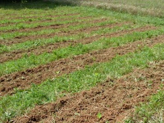 rows tilled for planting cowpeas