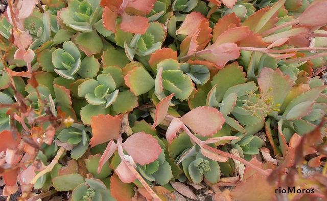 Hojas de Calanchoe de flor larga Kalanchoe longiflora
