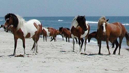 Chincoteague Ponies On Ataeague National Seas