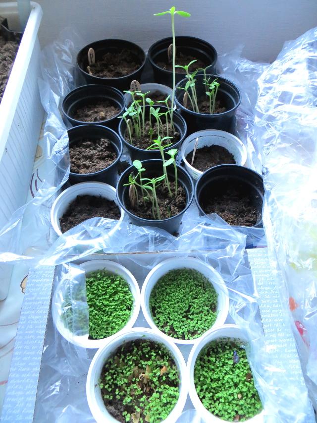 Kevätkylvöt on aloitettu, ensimmäisinä itäjinä auringonkukka ja sormustinkukka.
