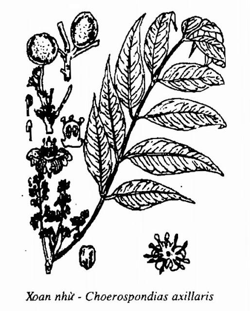 Hình vẽ Xoan Nhừ (Xoan Rừng) - Choerospondias axillaris - Nguyên liệu làm thuốc Đắp vết thương Rắn Rết cắn