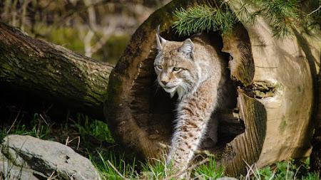 Wild Cats: The Lynx desktop