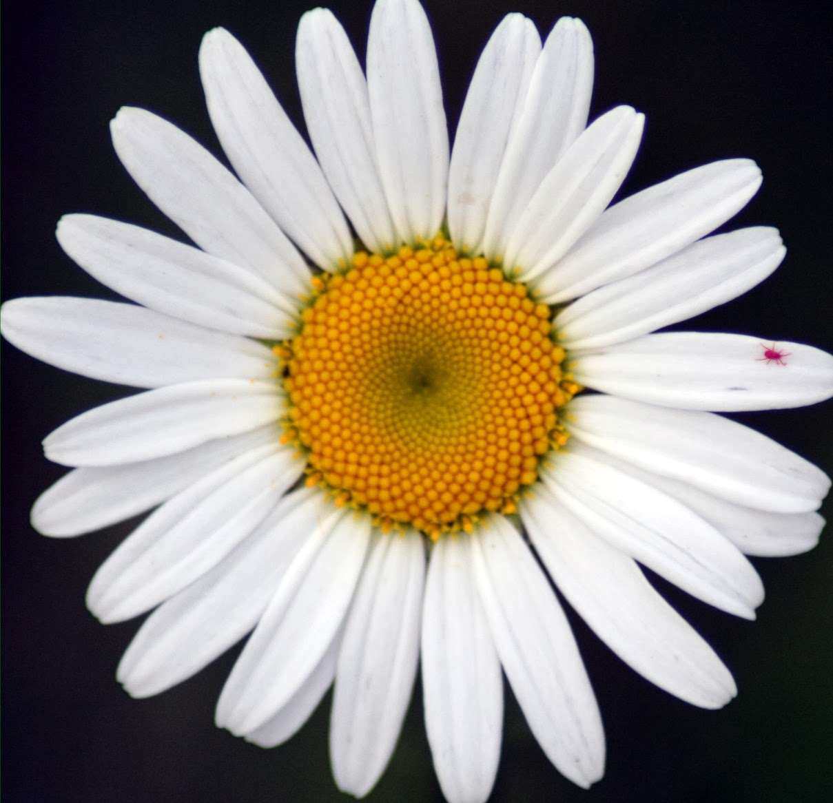 THE FLOWER GARDEN : ~ ~ Daisy Flower Meaning