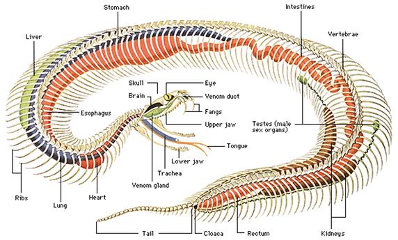 Dónde empieza la cola de una serpiente?