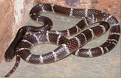 Krait Malasiana é uma serpente venenosa da família Bungarus Candidus