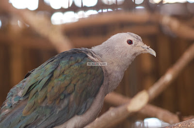 Ark Avilon Zoo - Green Imperial Pigeon