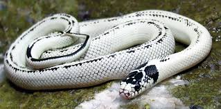 Top Five Harmless Snakes You Can Keep As Pets