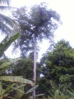 Kisah Unik Dibalik Pohon Randu Tua