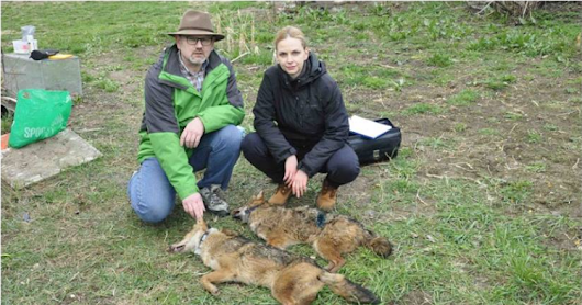 Jackals are collared in Serbia