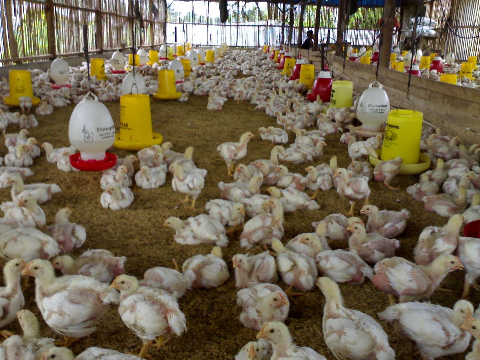 Go-Livestock: Laporan Praktikum Manajemen Ternak Unggas (MTU)