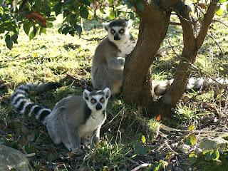 Maki catta - Lemur catta - Maki mococo - Lémur à queue annelée