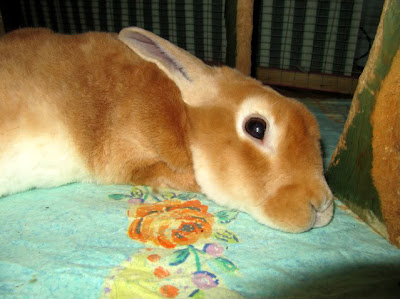 kelinci yang terserang radang paru