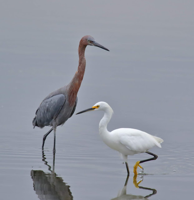 Reddish Egret and Snowy Egret