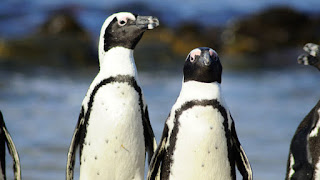African penguins, fishing bans
