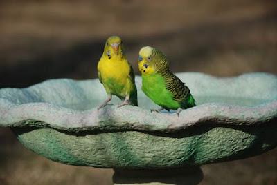 girl and boy parakeet in bird bath