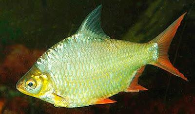 Mengenal Ikan Balar / Lalawak