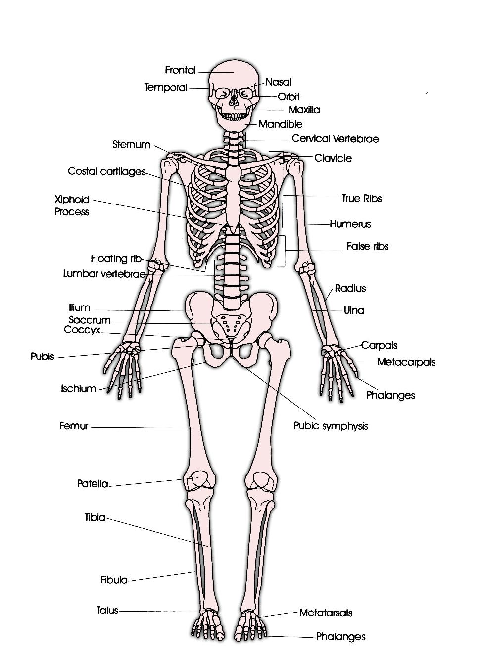 gambar tulang penyusun rangka tubuh