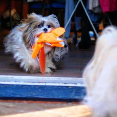 Chanel running away with her toy from her Surprise My Pet Subscription Box - Subscription Boxes which Ship to Australia