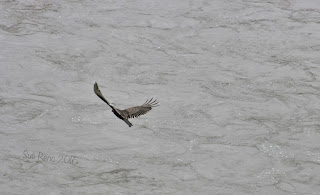 Hawk over Susquehanna River