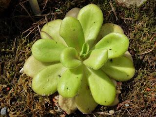 Pinguicula agnata - Grassette du Mexique - Plante carnivore