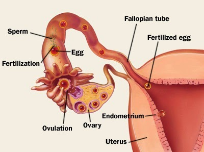 fertilization happens in the oviduct