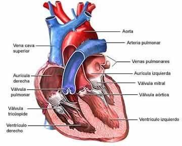 Sanguíneos en se corazón enfermedades especializa del y vasos