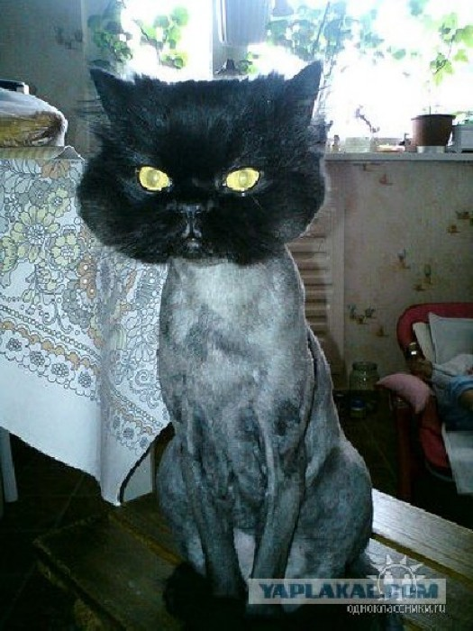 Funny Shaved Pussy Cat Or Lion Cat Funnymadworld