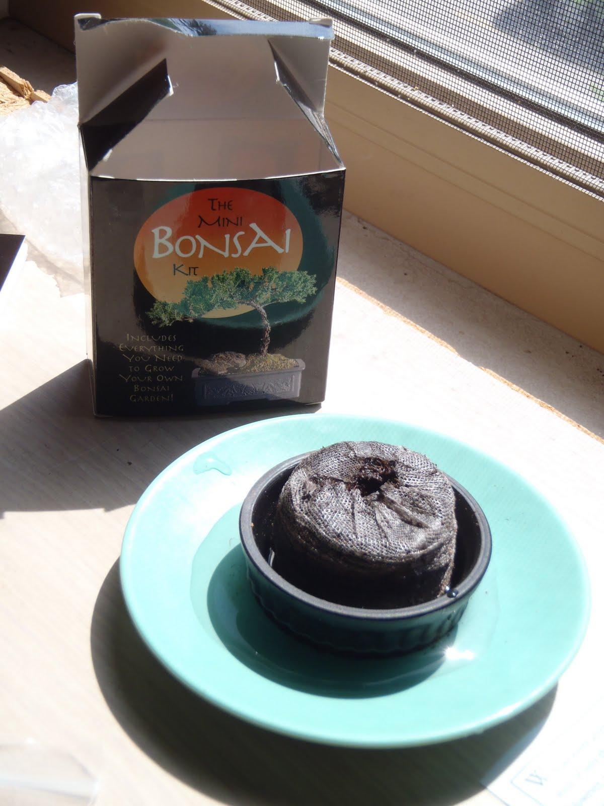Bonsai Tree 24 Cozy Bonsai Kit Pictures