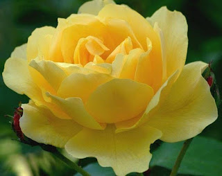 Yellow Rose For Valentine Day Flowers