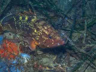 Epinelephus marginatus - Mérou brun