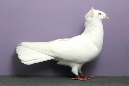 cumulet - pigeon - highflier