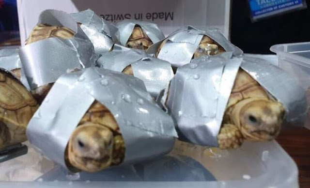 philippines,former colonies in asia,countries in asia,1500 live turtles found wrapped,1500 live turtles found wrapped in duct tape at manila airport,1500 live turtles found,manila philippines time,1500 live turtles,singapore dollar to philippine peso,philippine,philippe edouard,improves your listening skills,how to build a secret house in minecraft,red ribbon philippines,maritime southeast asia,live, 1500, turtles, turtles and tortoises, luggage