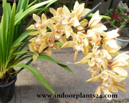 Cymbidium Hybrids Orchidaceae indoor plant