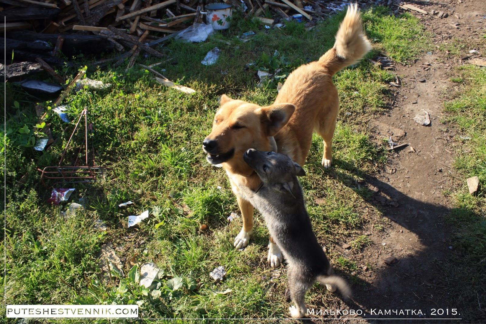 Собаки на Камчатке