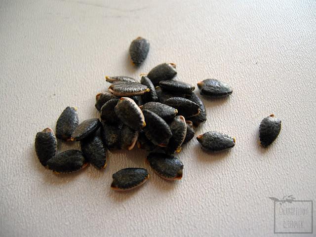 Granadilla (Passiflora ligularis) - męczennica języczkowata - wysiew, uprawa z nasion, pestek, hodowla w doniczce, w domu, uprawa domowa.
