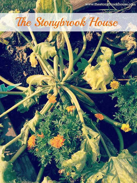 Squash Bug Kills Zucchini Plant