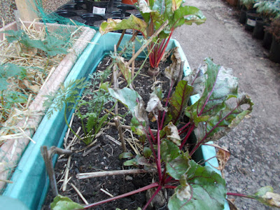 Beetroot growing in containers Watering and Harvesting: August on The 80 Minute Allotment