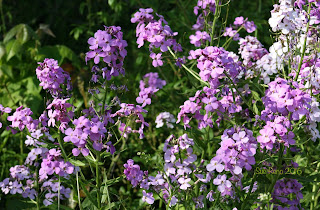 Dame's Rocket, Hesperis natronalis, in bloom