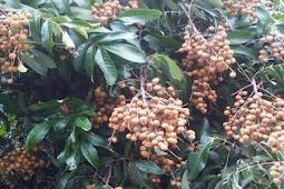 Longan fruit in the pot