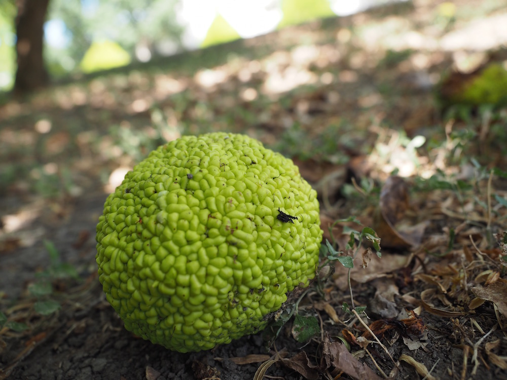 The Seeds Of Osage Orange Tree Are Designed To Be Spread By An Extinct North American Megafauna No Living Animal Can Fully Digest Fruit
